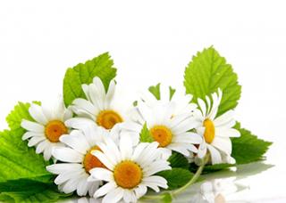 Chamomilla Recutita (Matricaria) Flower Extract