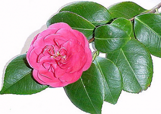 Camellia Japonica Flower Extract